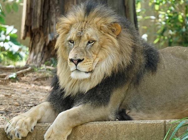 Доклад на тему лев животное 6533