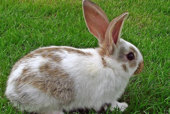 Кролик домашнее животное реферат 6014