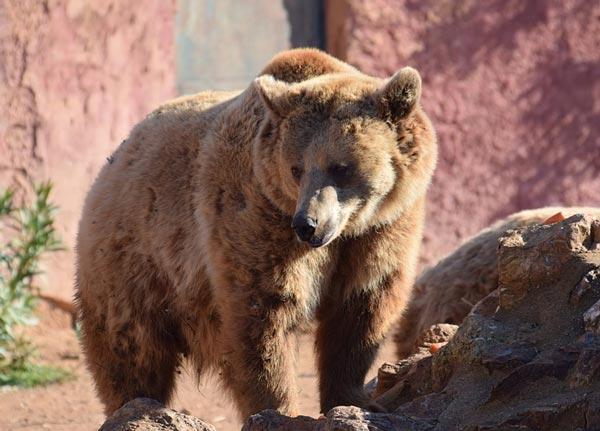 Доклад про медведя в научном стиле 3117